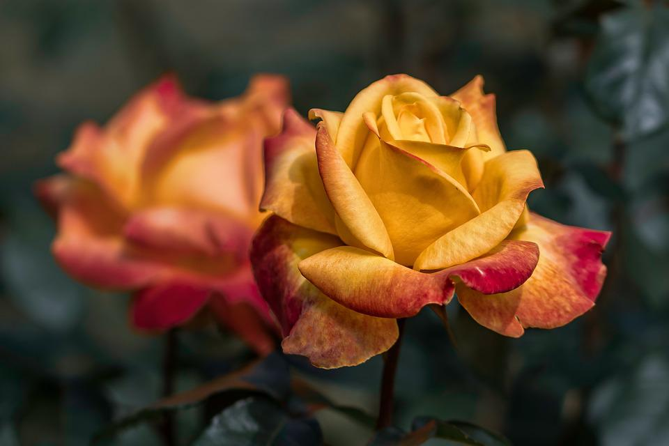 Garden, Red Roses, Yellow Roses, Nature, Plant, Petals