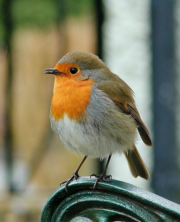 Robin, Bird, Wildlife, Red, Songbird, Cute, Outdoors