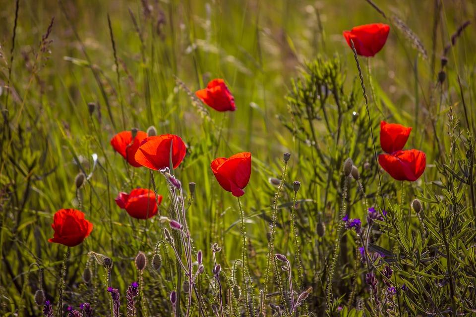 Poppy, Spring, Nature, Flower, Red, Field, Bloom