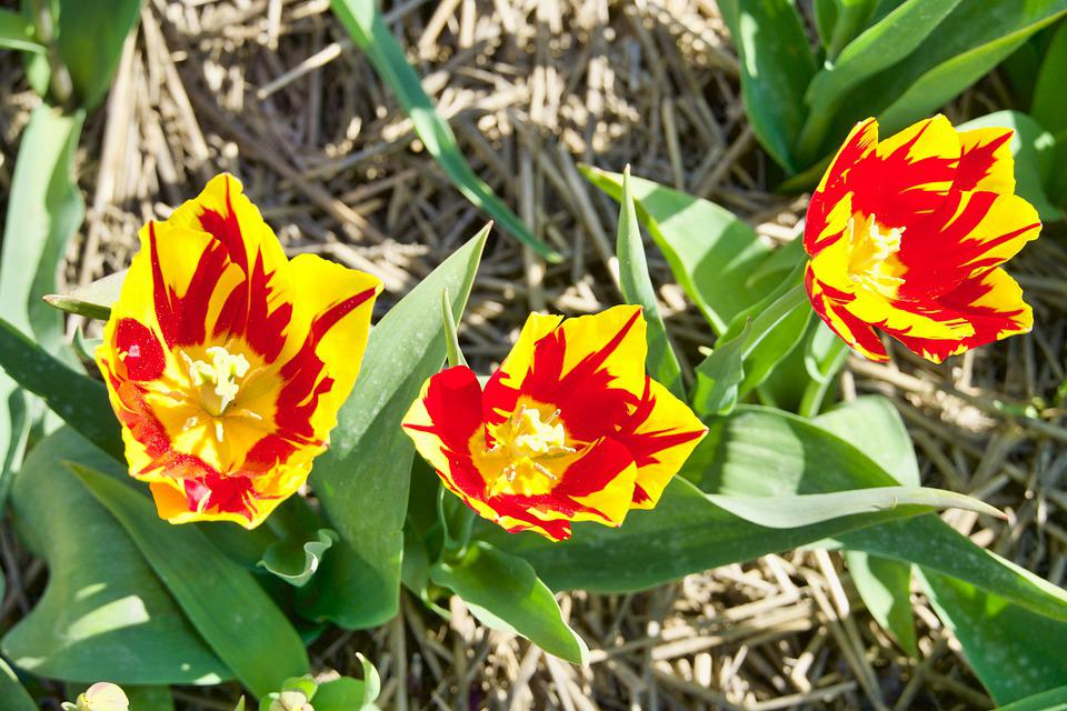 Tulip, Colour, Red, Yellow, Blooming, Spring, Flowers
