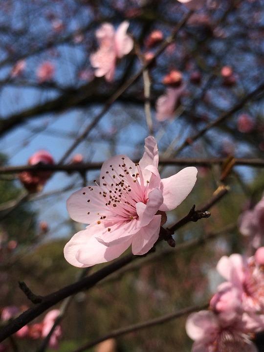 Spring, Plum Blossom, Blue Sky, Flower, Red, Close-up