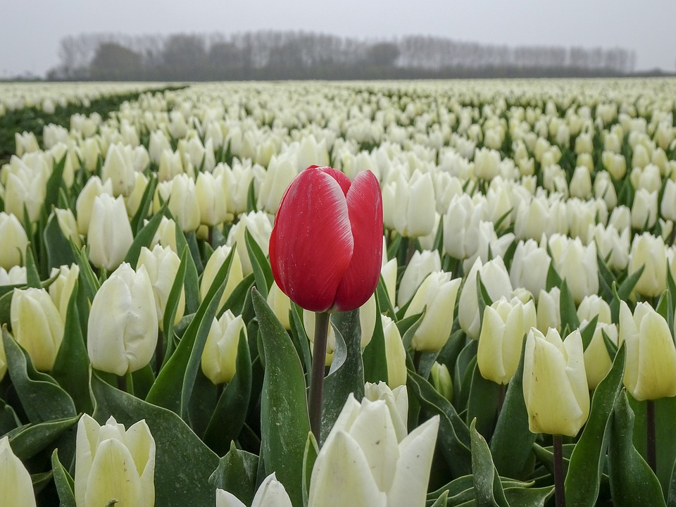 Red, Tulip, Spring, Flowers, Holland