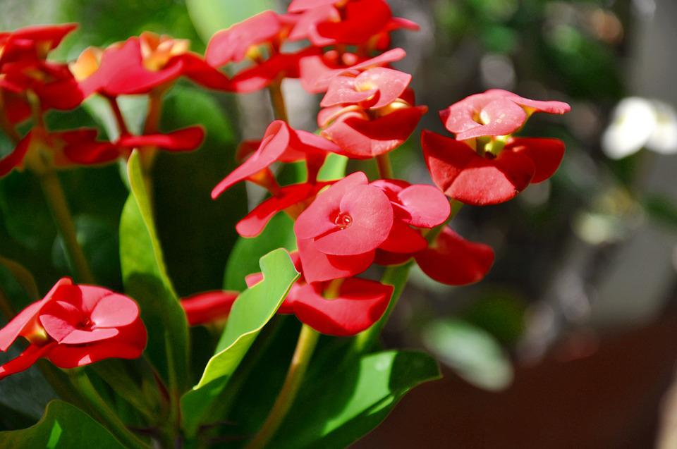 Spurge, Red, Spring Flower