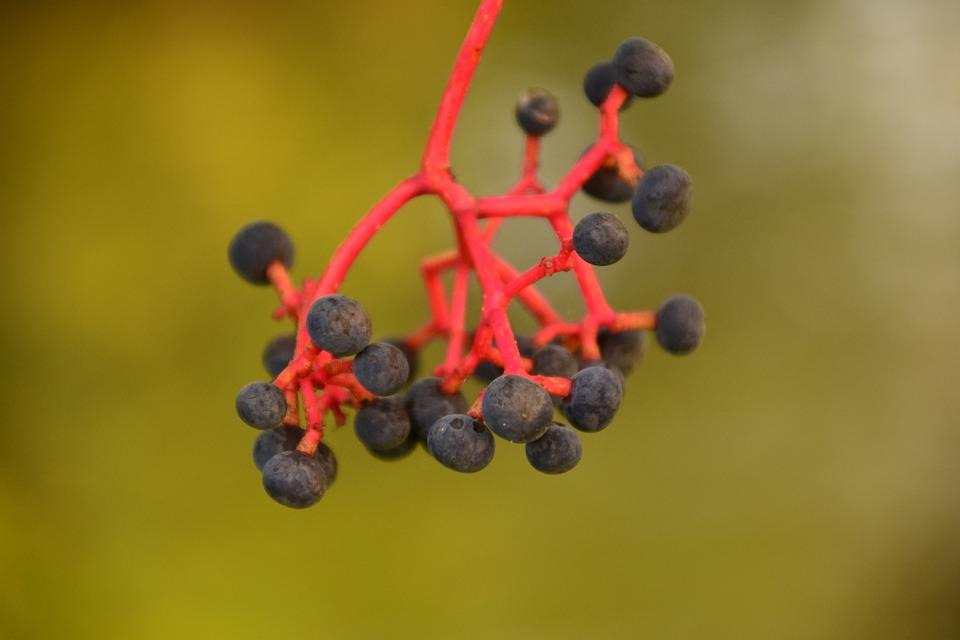 Rowanberries, Black, Red Stalk, Close, Beautiful