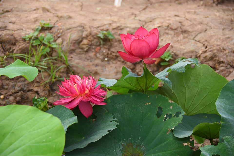 Lotus Flowers, Throat, Red, Blooming, Nice, Summer