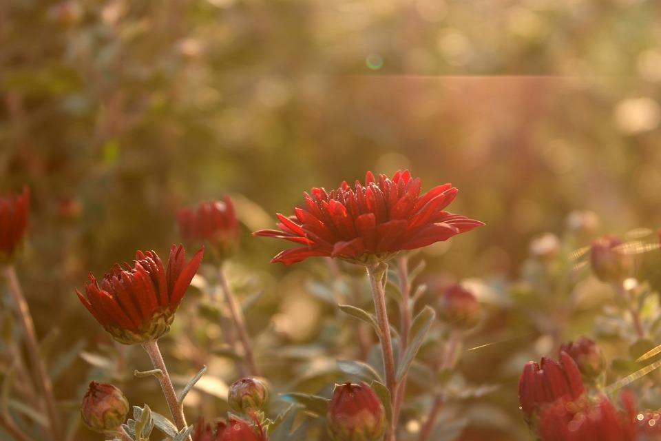 Flower, Sun Rays, Red, Distinction