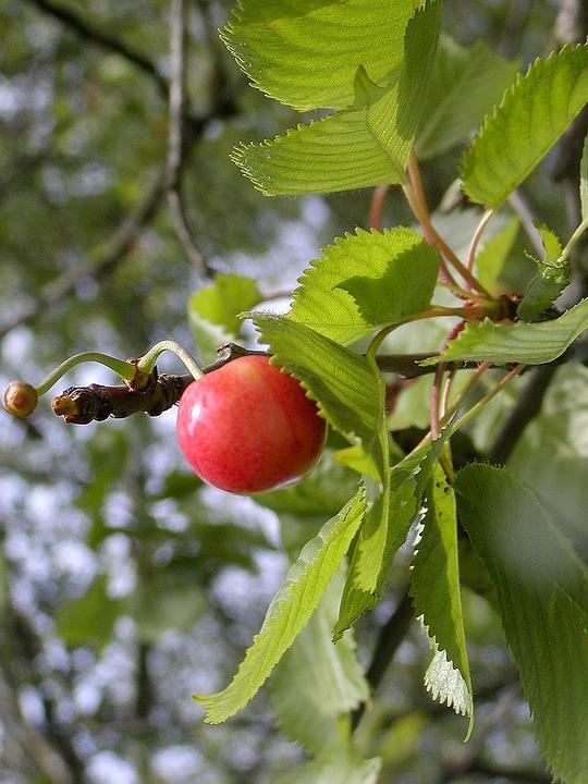 Cherry, Fruit, Maturation, Taste, Sweet, Red