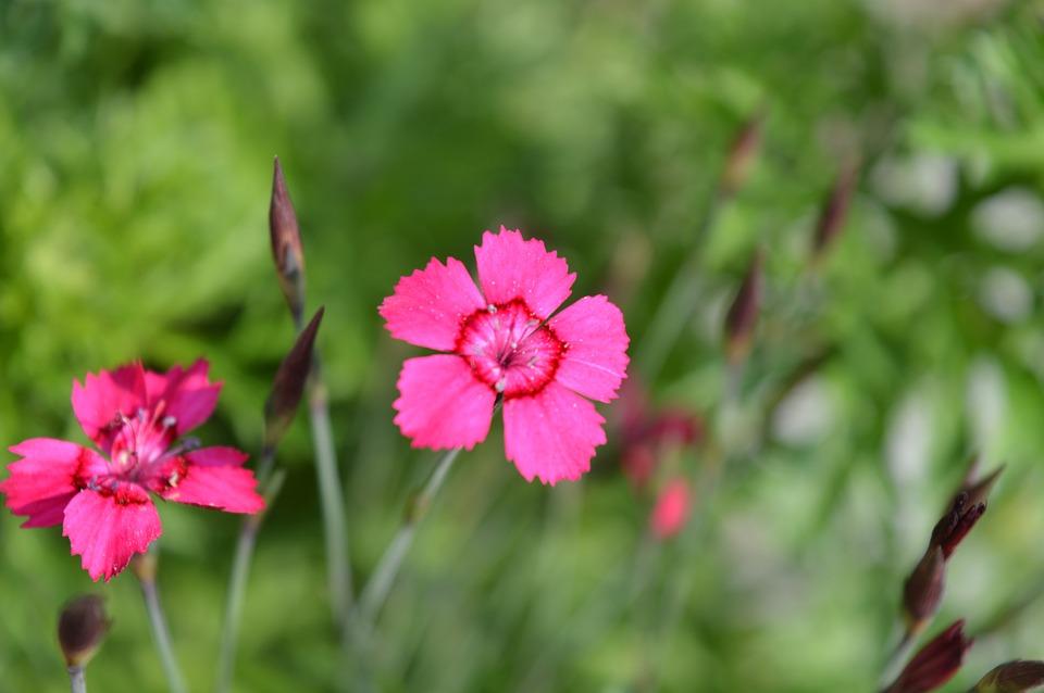 Cloves, Ground Cover, Blossom, Bloom, Red, Tender