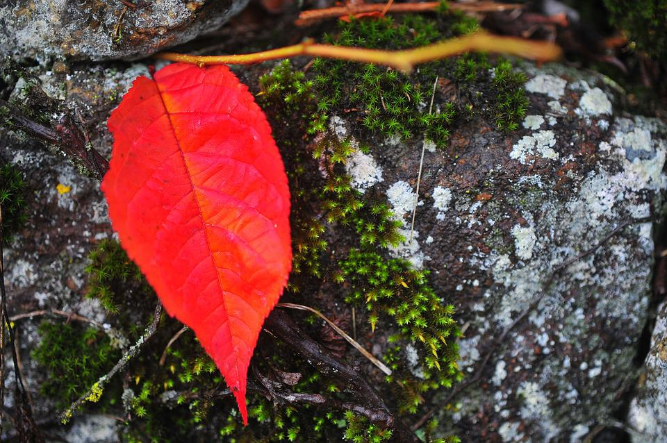 Red Maple, The Last Leaf, The Leaves, Red