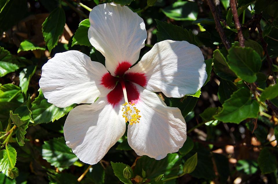 Free Photo Red Throat Hibiscus Stamens White Pistil Flower Max Pixel