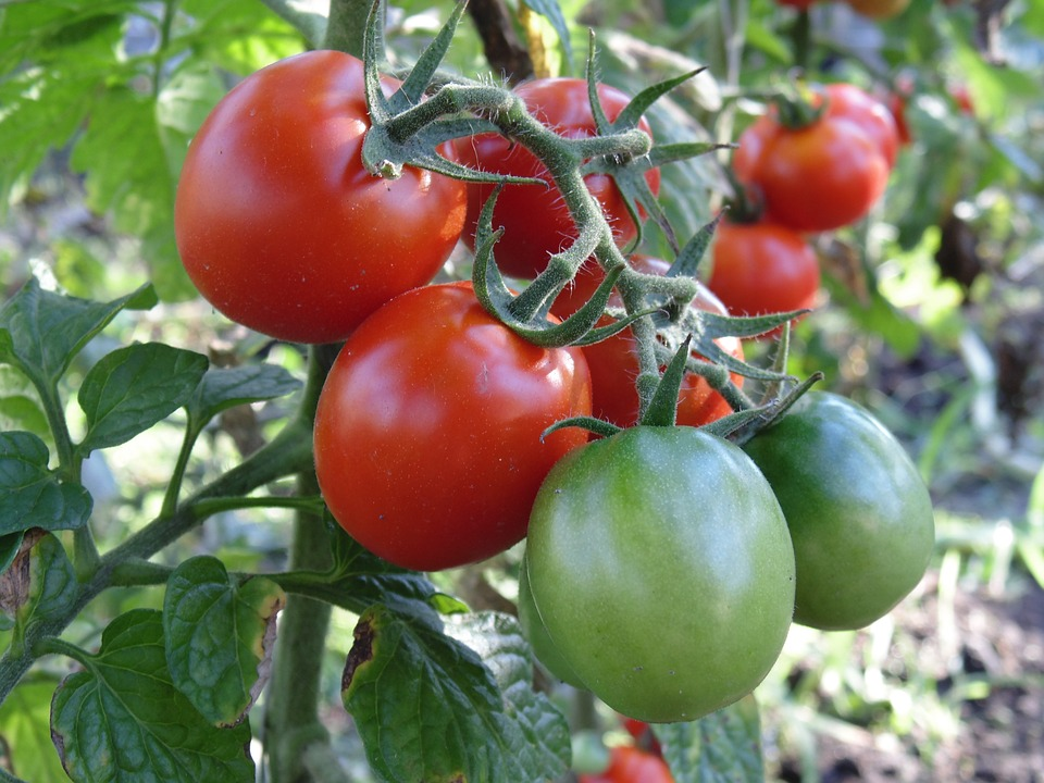 Tomato, Harvest, Brush, Vegetables, Cherry, Red, Why
