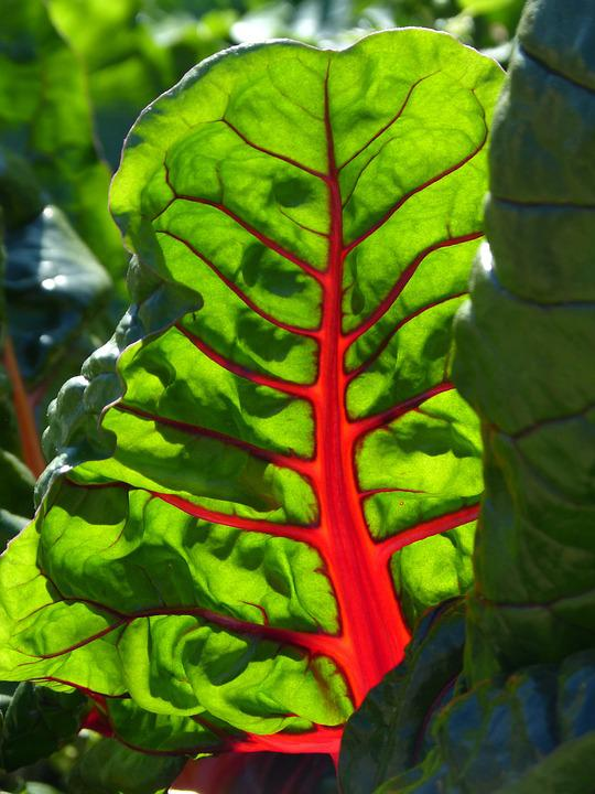 Leaf, Beauty, Chard, Red, Green, Translucent