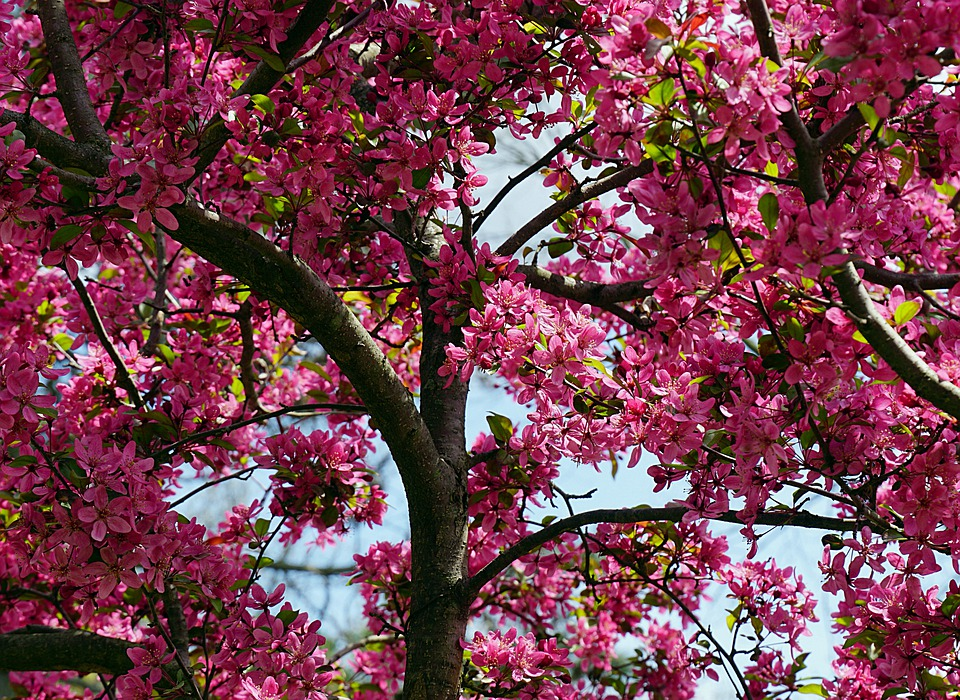 Tree, Apple Blossoms, Spring, Red, Pink