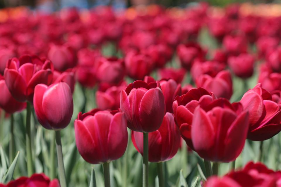 Tulip, Tulip Festival Ottawa, Flower, Red