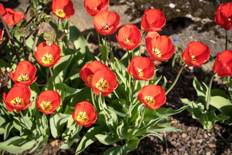 Tulips, Tulip Flower, Bloom, Flowers, Orange, Red