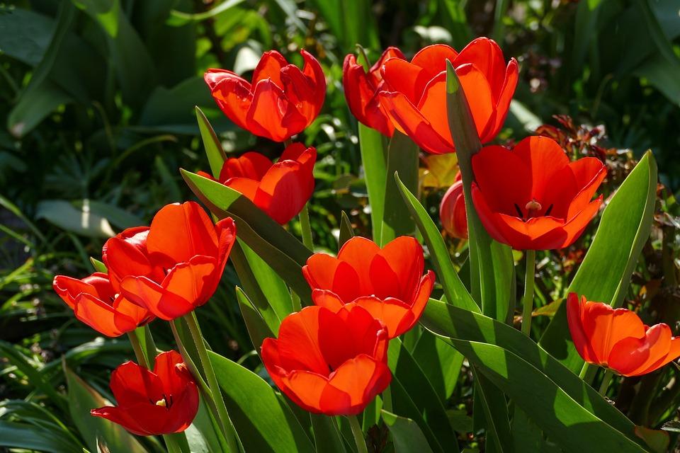 Red Tulips, In Sunlight, Bright, Garden Planting