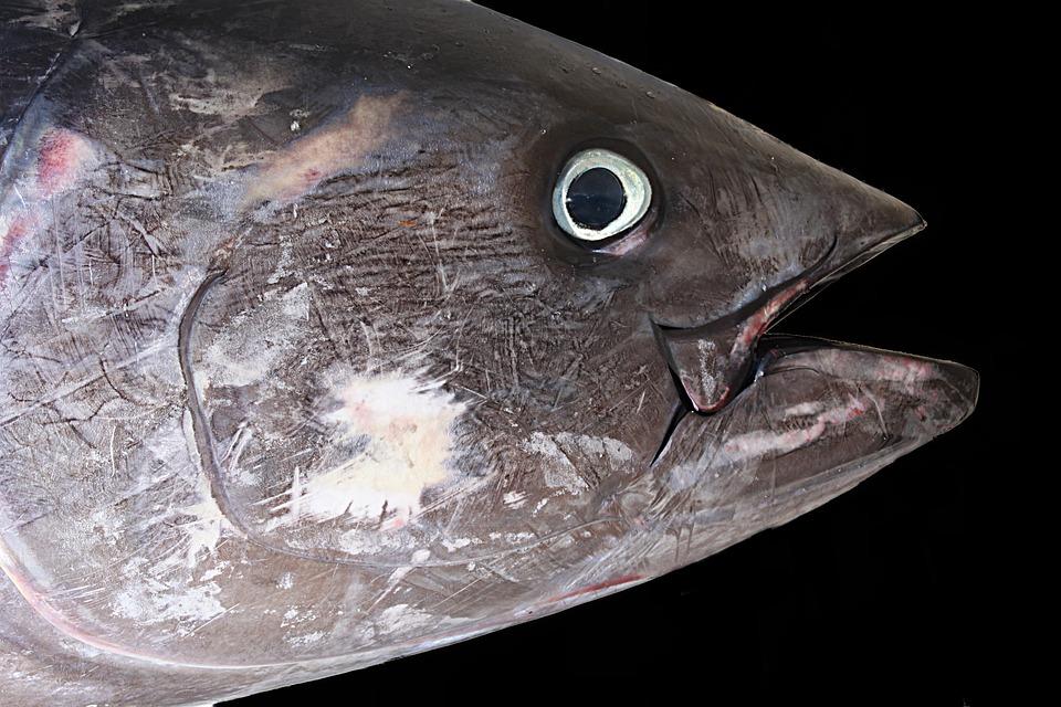Tuna, Red Tuna, Fish, Sea, Fishermen