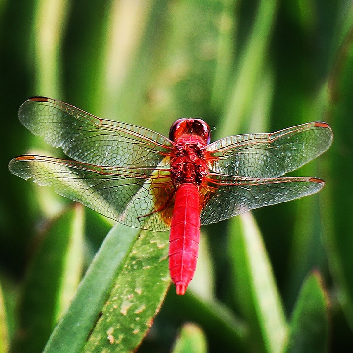 Dragonfly, Red, Wing, Transparent, Vein, Macro, Plant