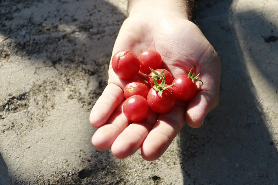 Tomato, Red, Village, Hands, Nature