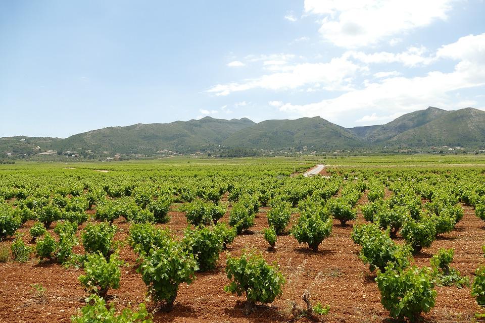Wine, Wijnstruik, Grape, White, Red, Vine, Viticulture