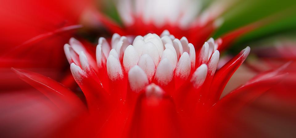 Bromeliad, Vriesea, Exotic, Plant, Red, White, Tropical