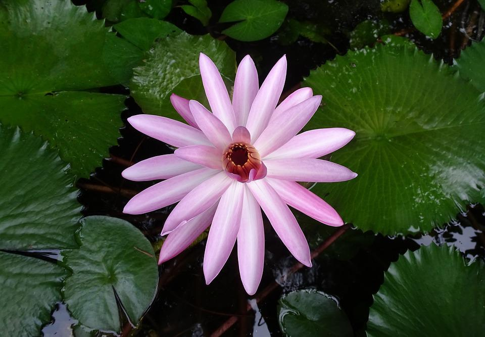 Lily, Flower, Red Water Lily, Lal Shapla, Lal Kamal