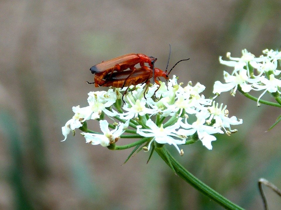 Red Weichkäfer, Soldier Beetle, Beetle, Insect