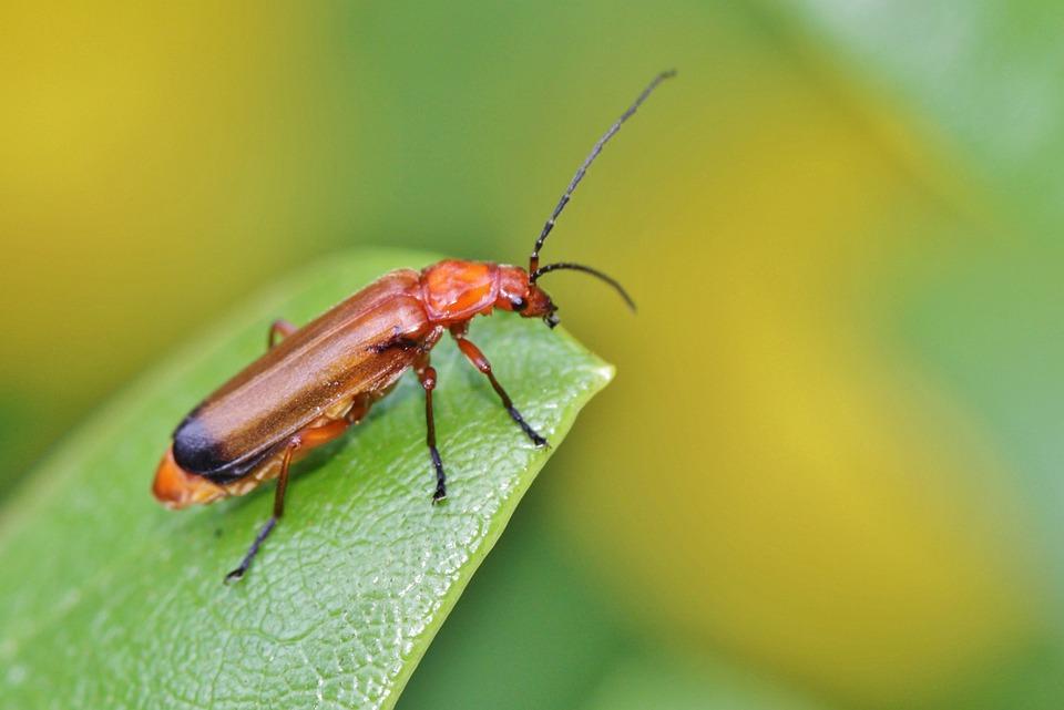 Red Weichkäfer, Beetle, Red Yellow Weichkäfer