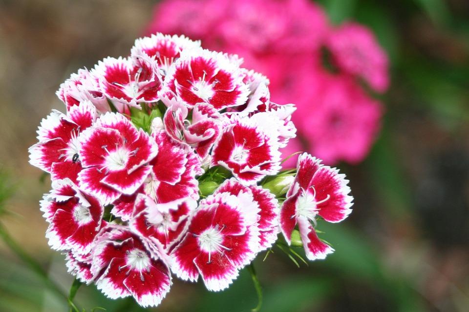 Klump Carnation, Red White Carnation, Carnation Flower