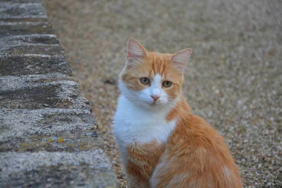 Cat, Red White, Green Eyes, Domestic Animal, Soft