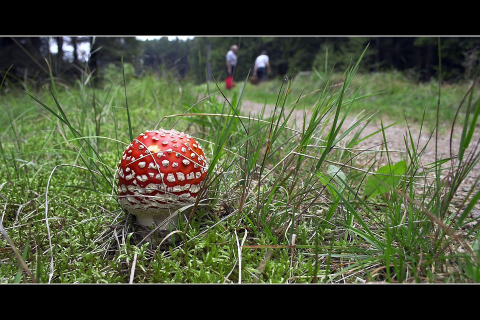 Mushroom, Red, Poisonous, Fly Amanita, Fly, Wild