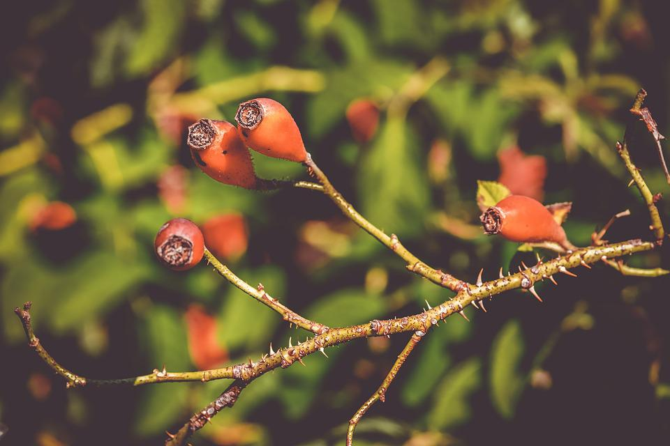 Rose Hip, Canina, Fruit, Berries, Red, Wild Rose
