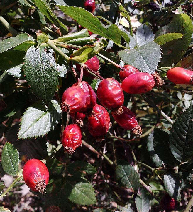 Wild Rose, Nature, Red, Fruit, Vegetable