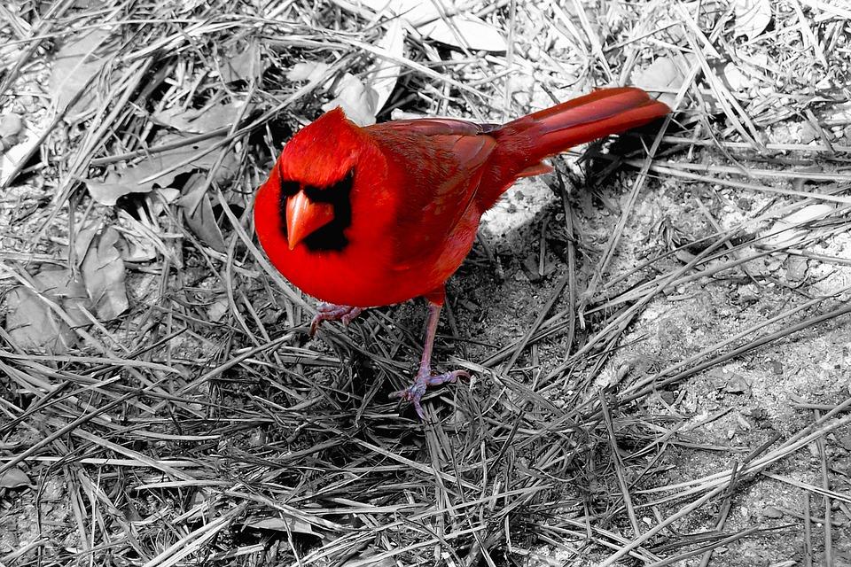 Cardinal, Bird, Red, Ohio, Wildlife, Animal, Nature