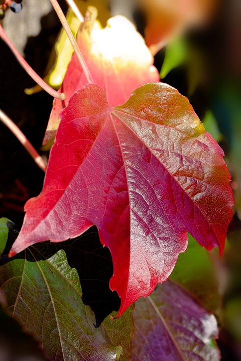Wine Partner, Autumn, Red, Leaves, Fall Foliage