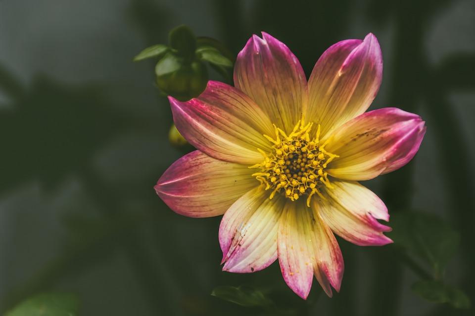 Flower, Blossom, Bloom, Dahlia, Red Yellow, Still Life