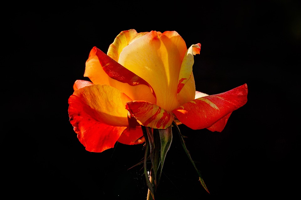 Rose, Flower, Yellow, Red, Red Yellow, Beauty