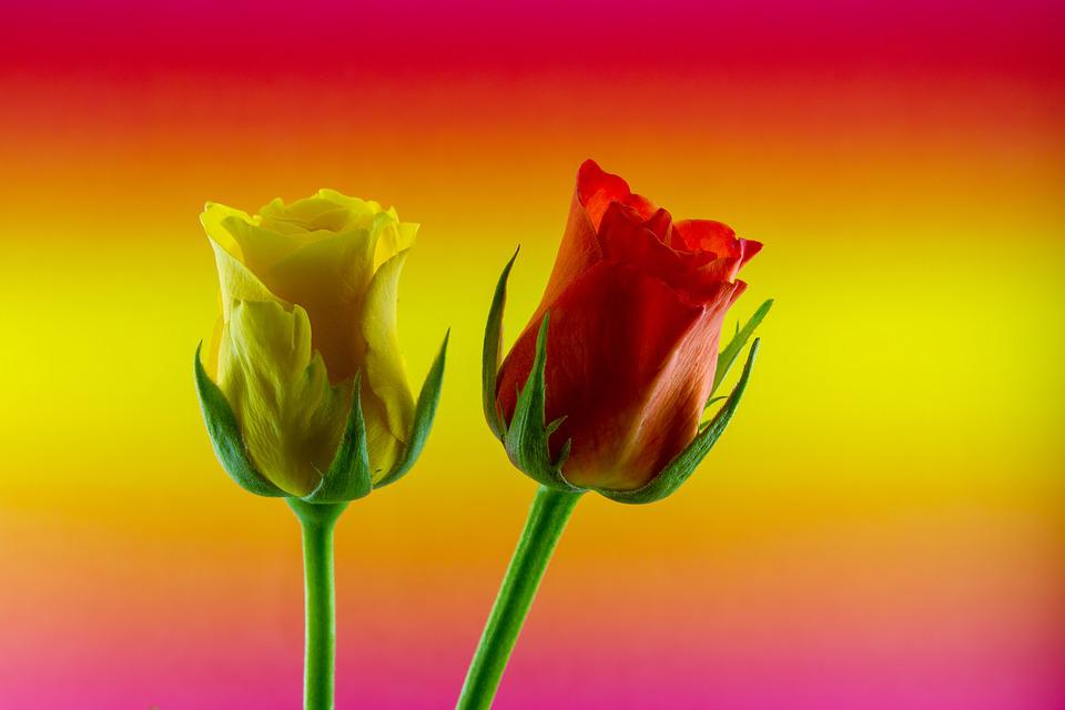 Flower, Rose, Love, Yellow, Red, Colored Background