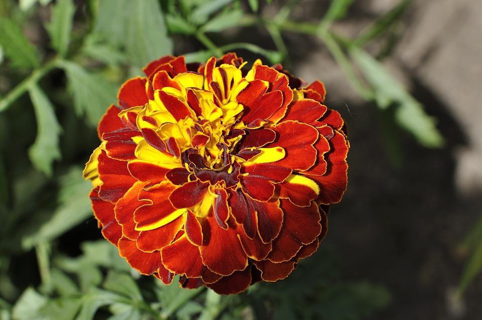 Carnation, Plant, Flower, Blossom, Bloom, Red Yellow