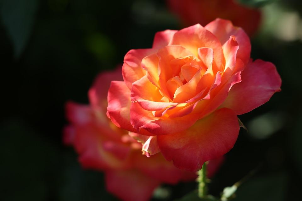 Red Yellow Rose, Alinka, Evening, Bloom, Flower, Garden