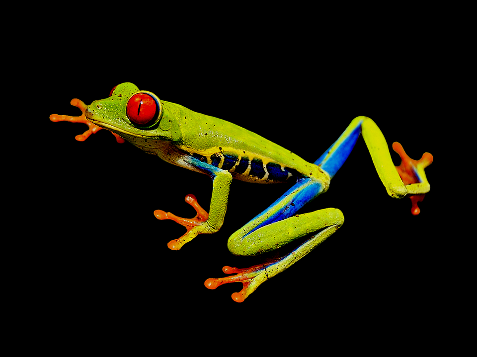 Red-eye Frog, Red-eyed Tree Frog, Tree Frog, Frog