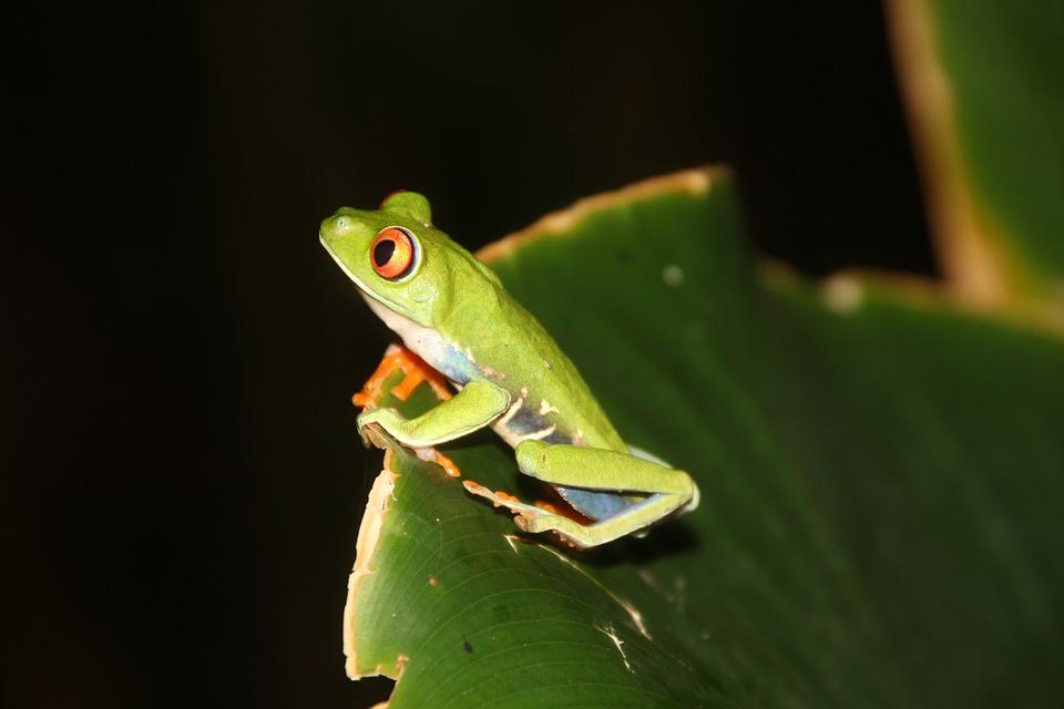 Frog, Red-eyed Tree Frog, Tree Frog, Amphibian