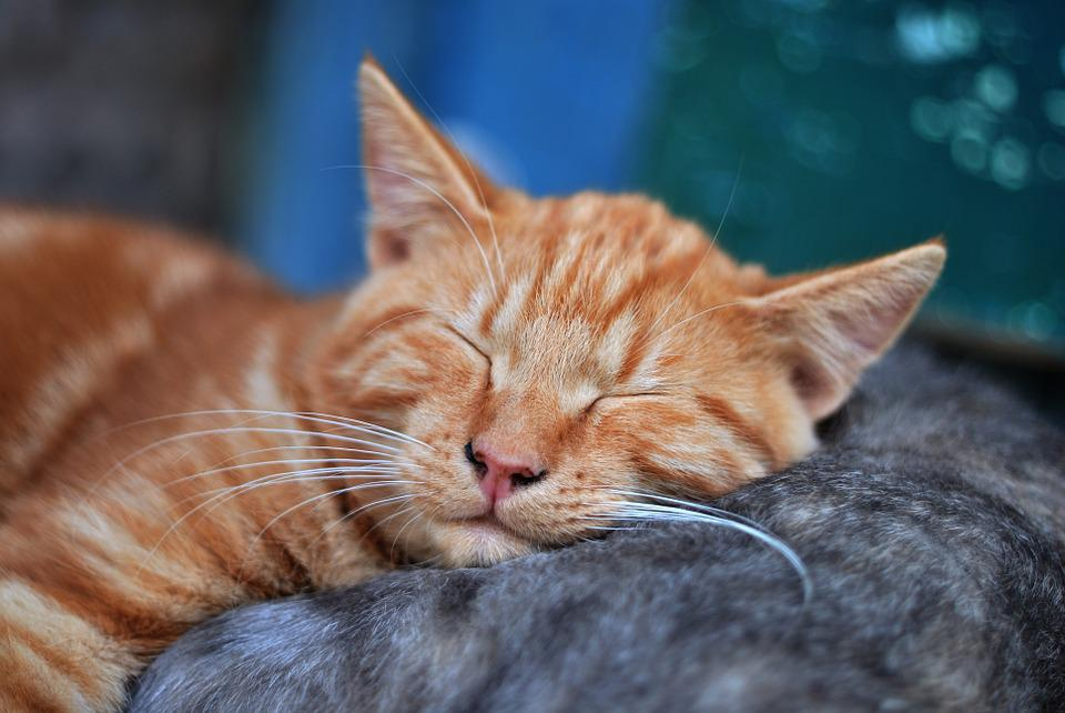 Tranquility, Dream, Kitten, Pet, Red-headed Cat