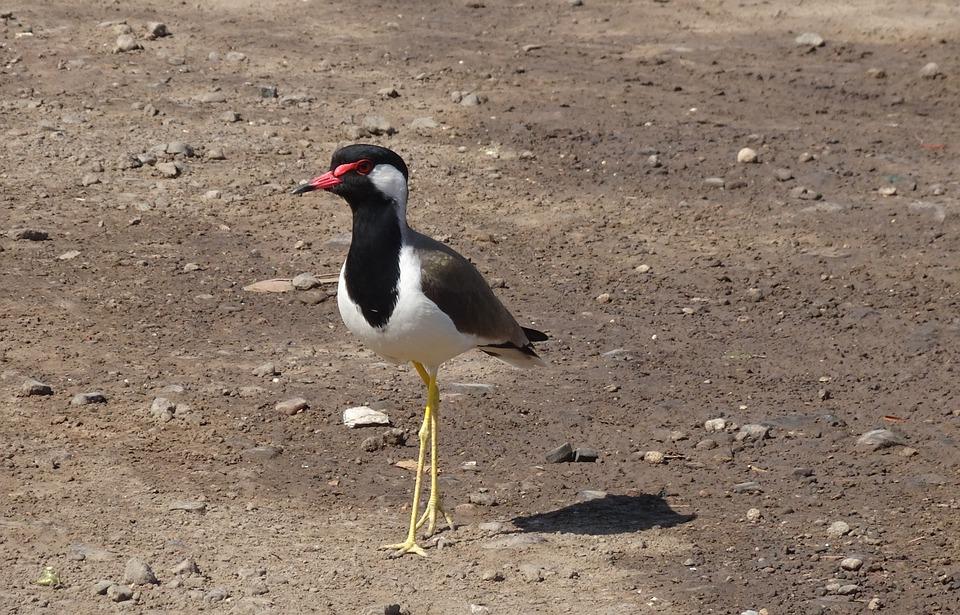 Bird, Red-wattled Lapwing, Vanellus Indicus, Lapwing