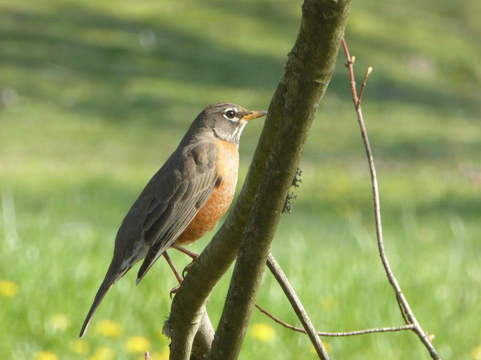 Robin, Bird, Spring, Redbreast, Wildlife, Nature