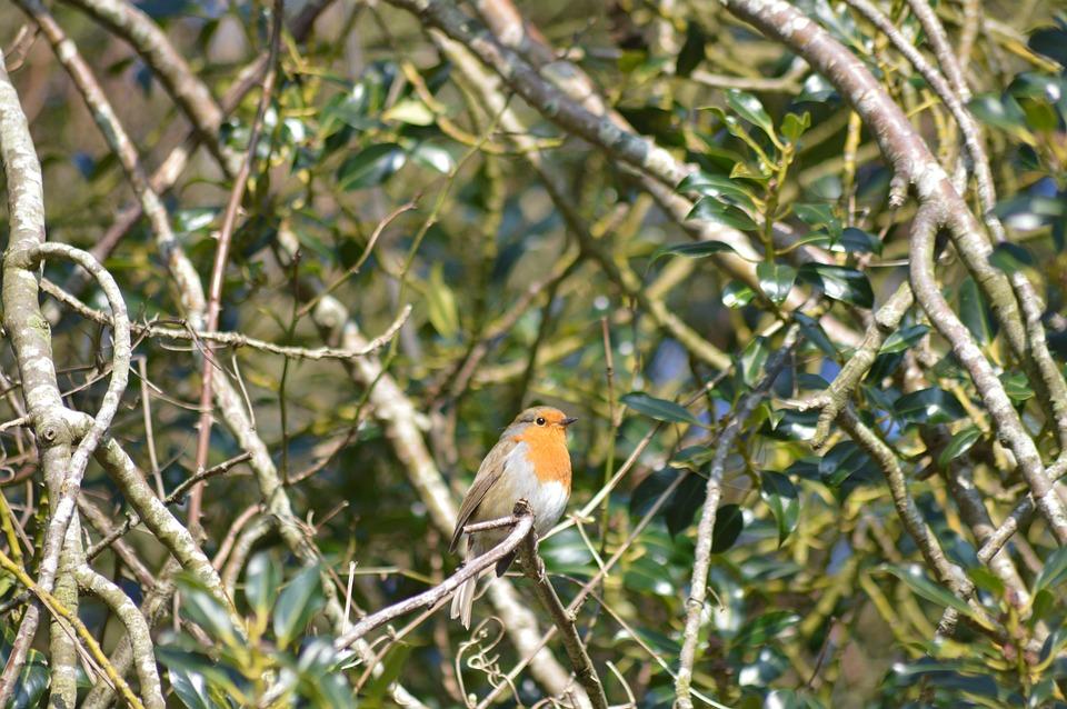 Robin, Bird, Wildlife, Songbird, Redbreast, Perched