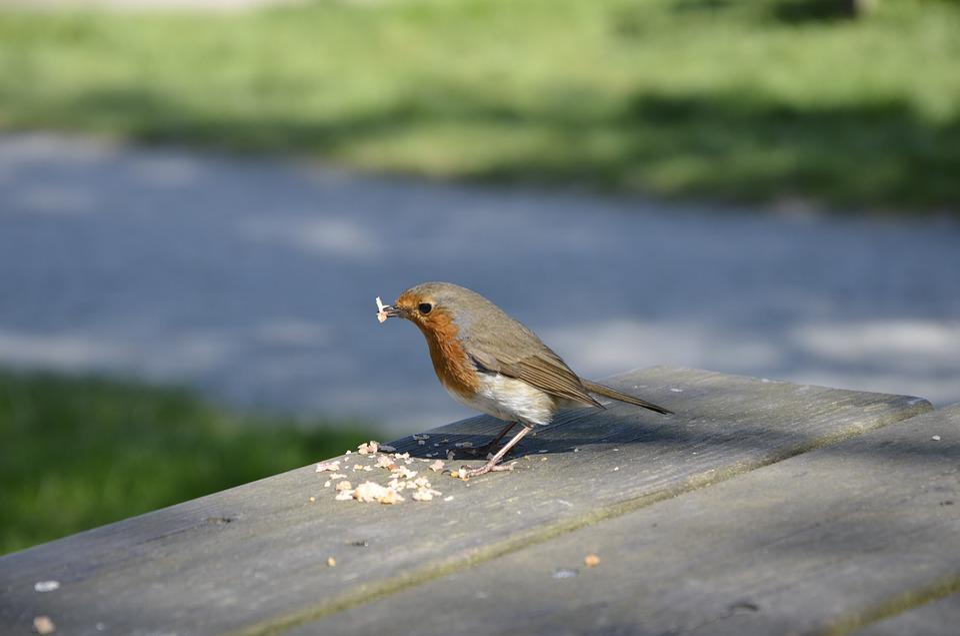 free photo redbreast red robin bird max pixel
