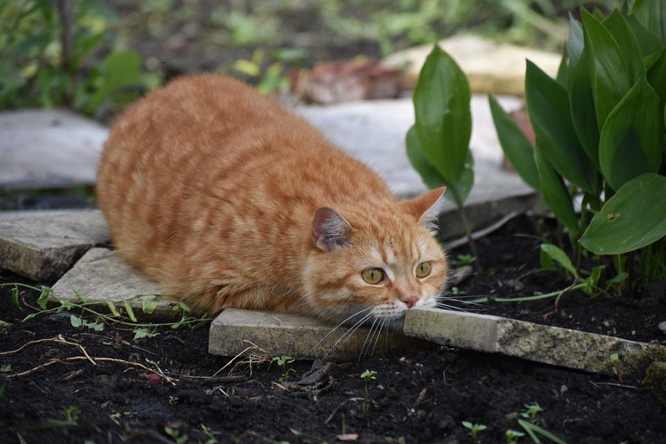 Cat, Redhead, Hunts, Hides, Animal, Hunting