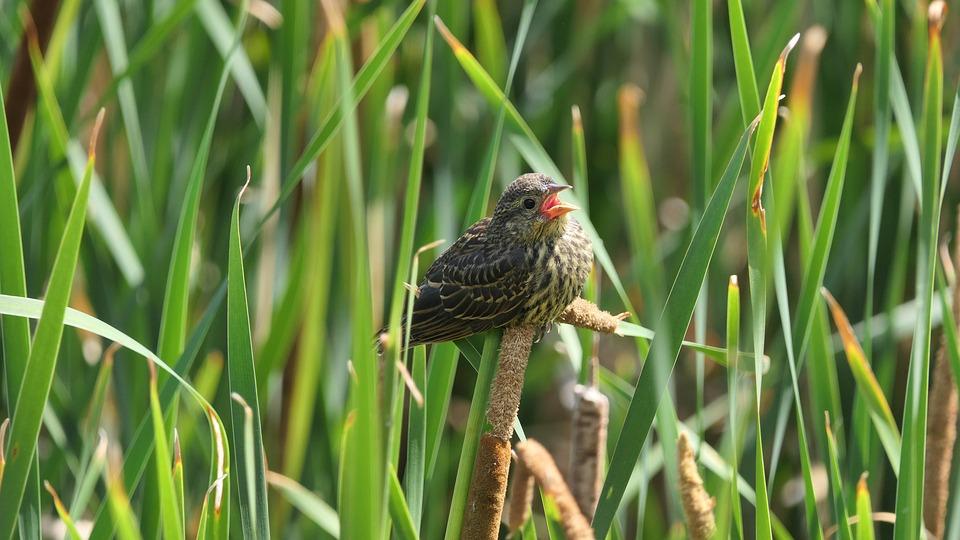 Baby Blackbird, Redwing Blackbird, Shore, Cattails