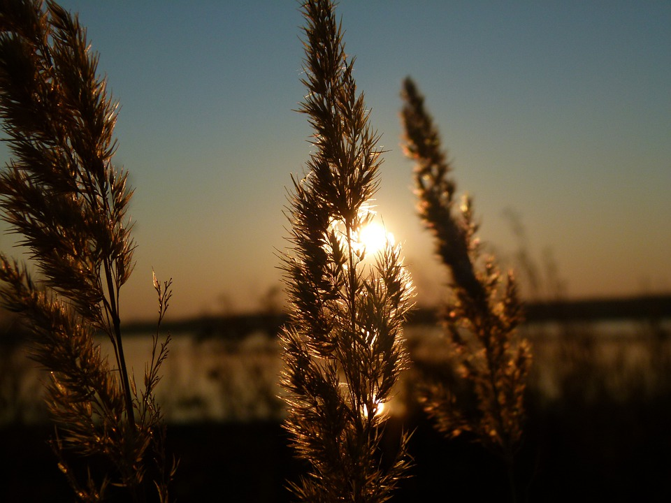 Sunset, Reed, Backlight, Sky